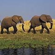 African Elephants, Lake Kariba Art Print