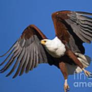 African Fish Eagle Art Print
