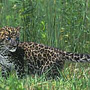 African Leopard Cub In Tall Grass Endangered Species Art Print