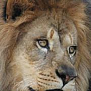 African Lion #5 Art Print