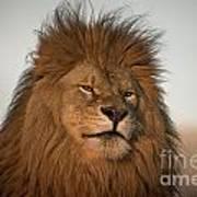 African Lion-animals-image Art Print