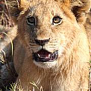 African Lion Cub Resting Art Print