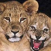 African Lion Cubs One Aint Happy Wldlife Rescue Art Print