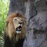 African Lion Roar Art Print