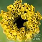 African Marigold Named Crackerjack Gold Art Print