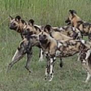 African Painted Hunting Dogs Art Print