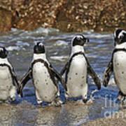 African Penguin Art Print
