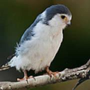 African Pygmy Falcon Art Print