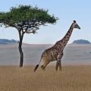 African Safari Giraffes 2 Art Print