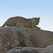African Safari Leopard 1 Art Print