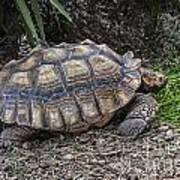 African Spurred Tortoise Art Print