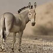 African Wild Ass Equus Africanus Art Print