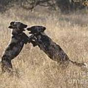 African Wild Dogs Playing Lycaon Pictus Art Print