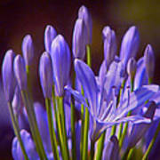 Agapanthus - Lily Of The Nile - African Lily Art Print