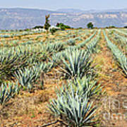 Agave Cactus Field In Mexico Art Print