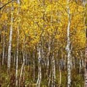Age Pitted Aspens Art Print