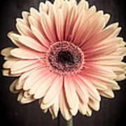 Aster Flower Art Print