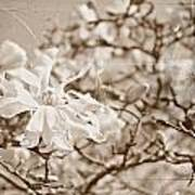 Antique Magnolia Bloom Art Print
