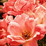 Aged Rose  Art Print