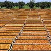 Agriculture - Blenheim Apricots Art Print