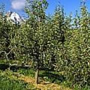 Agriculture - Bosc Pear Orchard Art Print
