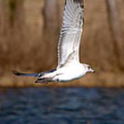 Airborne Seagull Series 2 Art Print