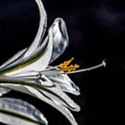 Ajo Lily Close Up Print by Robert Bales