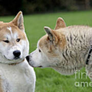 Akita Inu Dogs, Old And Young Art Print