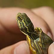 Alabama Red-bellied Turtle -  Pseudemys Alabamensis Art Print