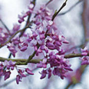 Alabama Redbuds Art Print