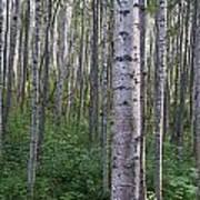 Alaska - A Dense Grove Of Birch Trees Art Print