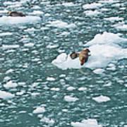Alaska Seals Art Print