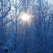 Alaska Sunrise Illuminating Through Birches And Willows Art Print