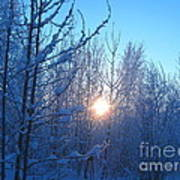 Alaska Sunrise Shining Through Birches And Willows Art Print