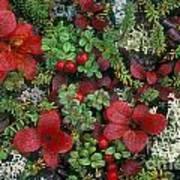Alaskan Berries 1 Art Print