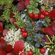 Alaskan Berries 2 Art Print