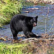 Alaskan Black Bear Hunting In A River Art Print