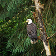 Alaskan Eagle Art Print
