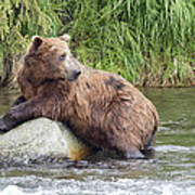 Alaskan Grizzly Art Print