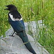 Alaskan Magpie Art Print