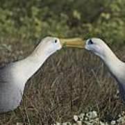 Albatross Perform Courtship Ritual Art Print