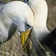 Albatrosses Snuggle Art Print