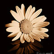 Albumen Daisy Art Print