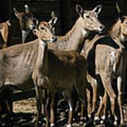 Alert Antelopes Art Print