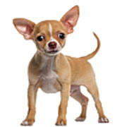 Alert Chihuahua Puppy 3 Months Old Art Print