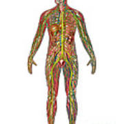 All Body Systems In Male Anatomy Art Print