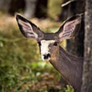 All Ears - Mule Deer Fawn - Casper Mountain - Casper Wyoming Art Print