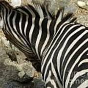 All Stripes Zebra 3 Art Print