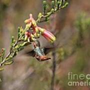 Allen Hummingbird In Flight Art Print