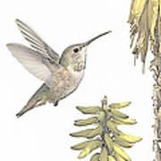 Allen's Hummingbird And Aloe Art Print